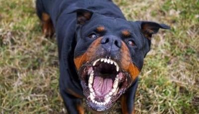 HOY / Rottweiler atacó a niño: denuncian a dueño por omisión y este niega