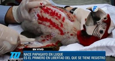 Nace primer papagayo libre en Luque