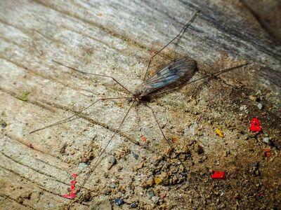 Los mosquitos europeos invaden la Antártida