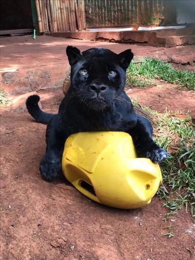 Murió Chito, el jaguareté de Itaipú