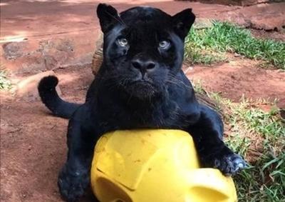 HOY / El jaguareté Chito de Itaipú muere en edad senil, analizan embalsamarlo para el museo