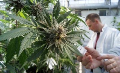HOY / Histórico: gobierno concede  primeras licencias para la  marihuana de uso medicinal