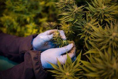 Otorgan primeras licencias para la producción de cannabis medicinal