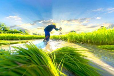 Grupo GPSA presentará su cosecha de arroz