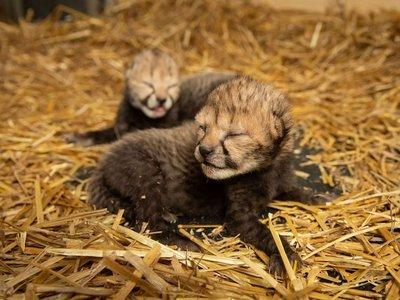 Nacen los primeros guepardos a través de fecundación in vitro
