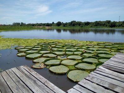 El Yacaré yrupê despliega su verdor en aguas del río Paraguay