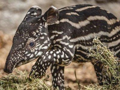 Nace en Nicaragua nuevo tapir en cautiverio