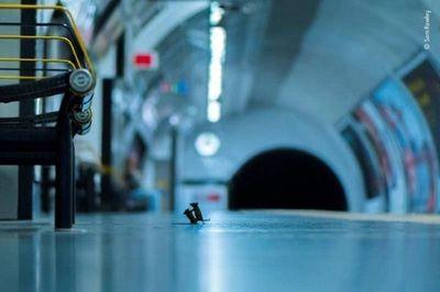 Pelea de ratones en metro de Londres, mejor foto de naturaleza del año