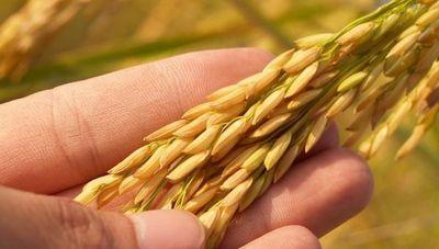 De US$ 64 millones a US$ 239 millones: así crecieron las exportaciones de arroz