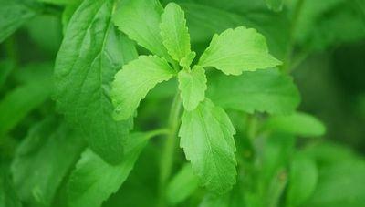 """""""El consumo de stevia crece en el mercado internacional, por eso se debe trabajar en las técnicas de producción"""""""