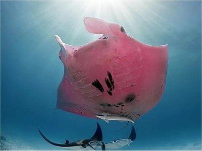 Captan a una inusual mantarraya rosa en Australia