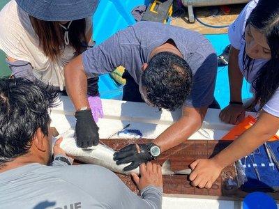 Marcan a cinco tiburones martillo para estudiar sus movimientos