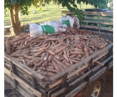 Yby Yaú: Agricultor repartió 2.000 kilos de mandioca a familias necesitadas