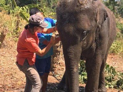 Elefantes hambrientos en Tailandia, las otras víctimas del Covid-19