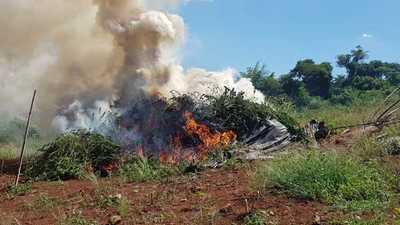 Capitán Bado: Incautan ydestruyende cinco toneladas de marihuana picada y varias hectáreas de plantación de la droga