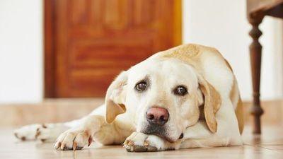 Veterinarios instan a no descuidar a mascotas durante cuarentena