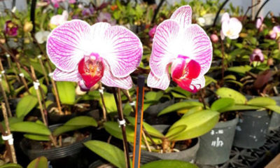 » Plagas y enfermedades comunes en las orquídeas