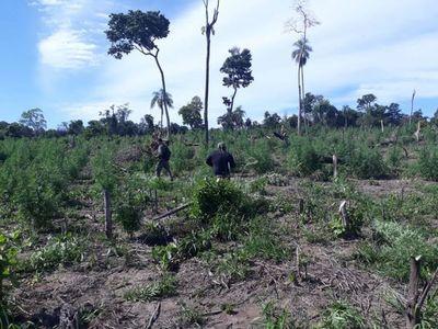 Destruyen cinco hectáreas de plantaciones de marihuana en Bella Vista