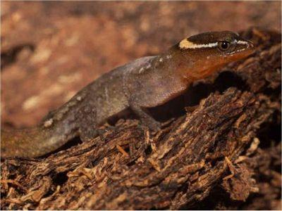 Registran presencia del lagarto más pequeño del mundo en un parque