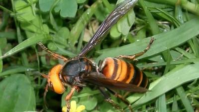 Aparecen por primera vez en EEUU «avispones asesinos», que constituyen un peligro para abejas y humanos