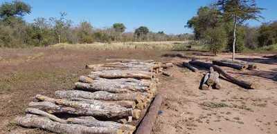 Boquerón: Fiscalía investiga tala de Palo Santo y supuesta explotación laboral de menores