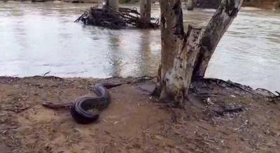 HOY / Mbói jagua (en peligro de extinción) de seis metros fue  rescatado y devuelto al río