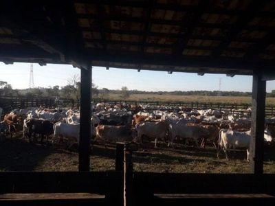 Un capataz detenido y más de 70 ganados recuperados en Itapúa