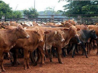 Por sequía, el Chaco lidera en un 70% el traslado de bovinos
