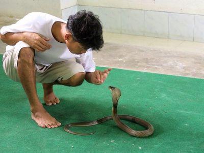 Un hombre fue acusado en India de haber matado a su esposa con una cobra