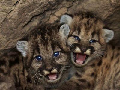 Pandemia y Cuarentena, dos pumas nacidos en zoo de México
