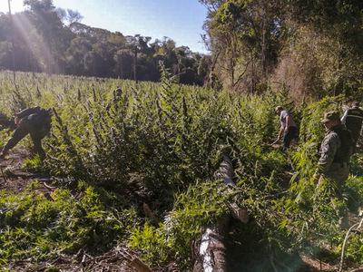 Destruyen plantaciones de marihuana en el Parque Nacional Serranía San Luis