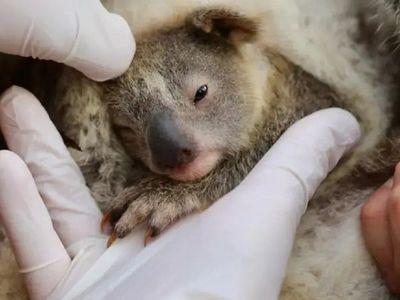 Ash, la primera bebé koala nacida tras los incendios forestales