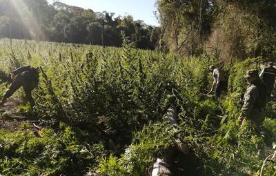 Eliminaron plantaciones de marihuana en parque nacional de Concepción
