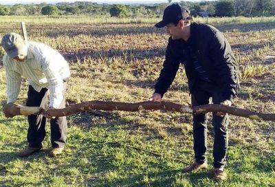 Cosechan mandioca de 5 metros y 15 kilos en Yataity del Norte