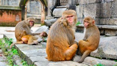 Monos atacan a médico y roban muestras de sangre con covid-19