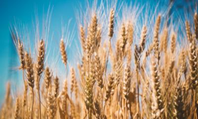 » Resuelven la clave genética por la que el trigo no puede hacer frente a la roya del tallo