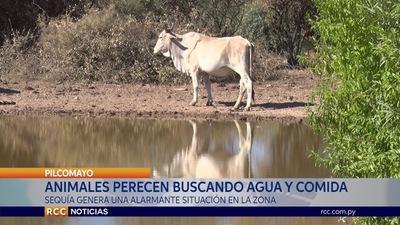 ANIMALES MUEREN EN BUSCA DE AGUA Y COMIDA EN EL CHACO PARAGUAYO