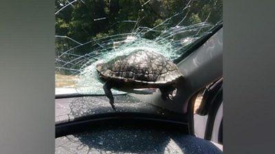 Tortuga impacta contra parabrisas y lesiona a un hombre