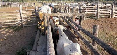 En el Chaco prevén escasez de vacunos