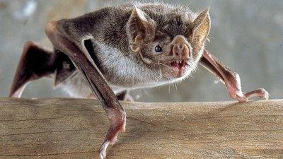 Hallan alarmante cantidad de nuevos coronavirus en murciélagos en China