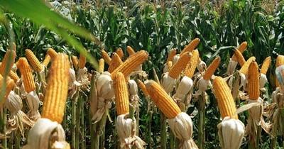 Productores lamentan que precios del maíz sigan bajos