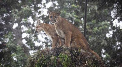 Tres pumas rescatados del tráfico ilegal se recuperan en el zoológico de Lima