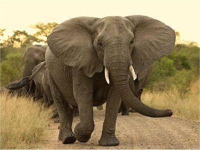 Investigan misteriosas muertes de unos 154 elefantes en Botswana