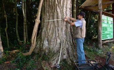 Celebran día del árbol con Yvyraromi de 400 años en la Itaipu