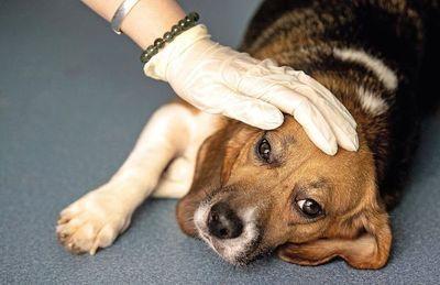 Anuncian testeo gratuito de leishmaniasis visceral canina