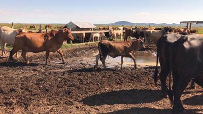 Rodeo de cría en campos bajos y la utilización de balanceados para potenciar los terneros