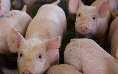 Temen otra pandemia ante descubrimiento de nuevo tipo de gripe porcina en China