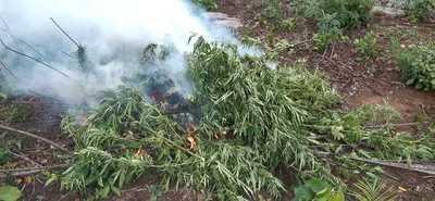 Destruyen casi 700 kilos de marihuana en el Parque Nacional San Luis