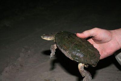 Tortugas chaqueñas: Rescatan animales silvestres a ser comercializados en Mercado 4