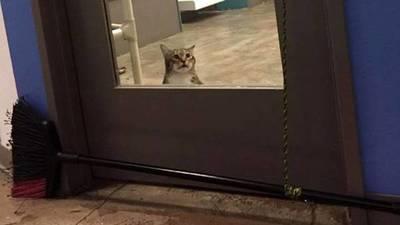 Gato se hace viral por abrir puertas para que escapen todos los felinos de un refugio
